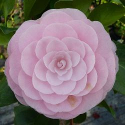Camellia japonica Pearl Maxwell
