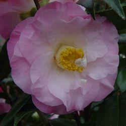 Camellia japonica Docteur Tinslay