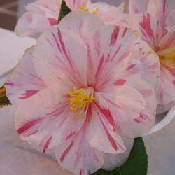 Camellia japonica Paul Jones Suprême