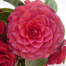 Camellia japonica Roger Hall