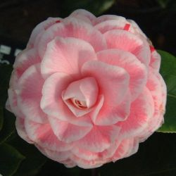 Camellia Tom Pouce - Tom Thumb (japonica)