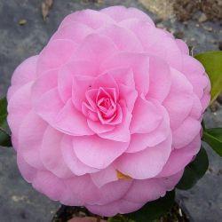 Camellia hybride Betty Ridley
