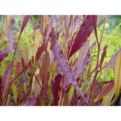 Dodonea viscosa purpurea - Dodonée fébrifuge