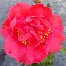 Camellia japonica Tom Knudsen