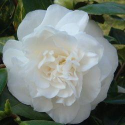 Camellia japonica Silver Cahlice