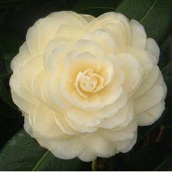 Camellia japonica Dalhonega