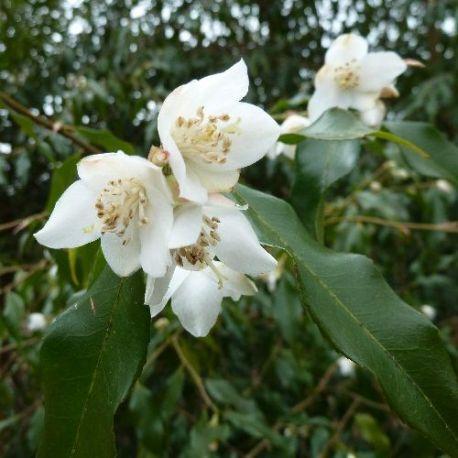 Camellia cuspidata Spring festival
