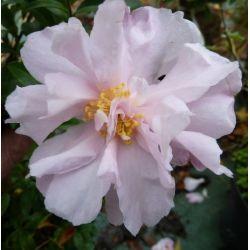 Camellia d'automne Petite (sasanqua)