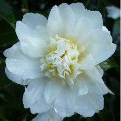 Camellia d'automne Snow Flurry (oleifera)