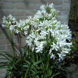 Agapanthe litte dutch white