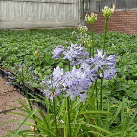Agapanthe Little Dutch Blue