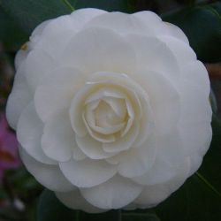Camellia Compacta Alba (japonica)