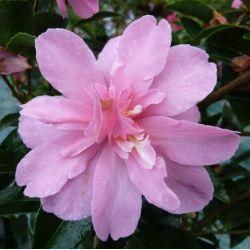 Camellia d'automne Elfin Rose (sasanqua)