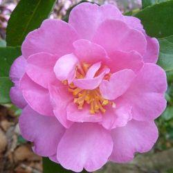 Camellia d'automne Hilda (sasanqua)