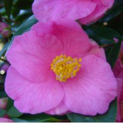 Camellia Cornish Spring