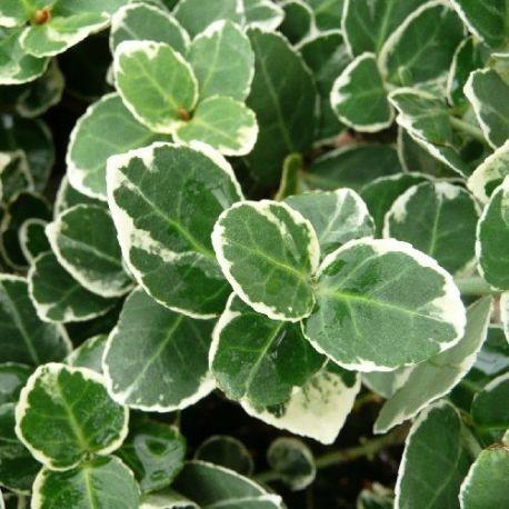 Fusain couvre-sol panaché blanc - Euonymus fortunei Emerald Gaiety