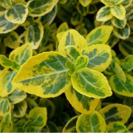 Fusain couvre-sol panaché jaune - Euonymus fortunei Emerald Gold