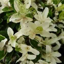 Fusain du japon couvre-sol Pierrolino ® - Euonymus du japon Pierrolino