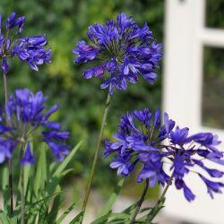 Agapanthe Brillant blue