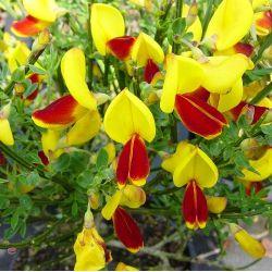 Cytisus scoparius andreanus