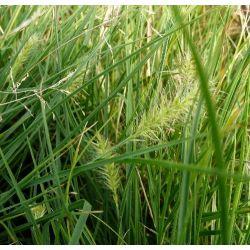 Pennisetum alopecuroides Little Bunny - Herbe aux écouvillons