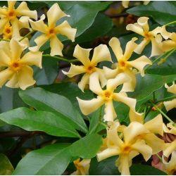 Jasmin étoilé Star of Toscane - Trachelospernum jasminoides Star of Toscane 'Selbra'