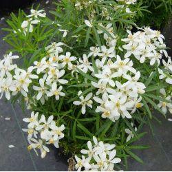 Oranger du Mexique nain White Dazzler - Choisya White Dazzler