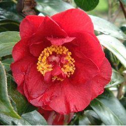 Camellia japonica Bop Hope