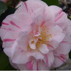 Camellia Carter's Sunburst (japonica)