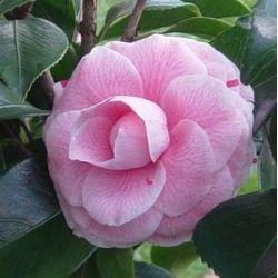 Camellia Professore Filippo Parlatore (japonica)