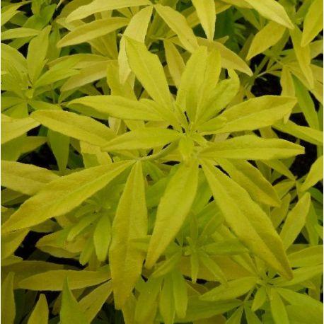 Oranger du Mexique Goldfinger - Choisya ternata
