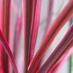 Cordyline banksii Electric Pink