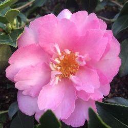 Camellia d'automne Sunrise Serenade (sasanqua)