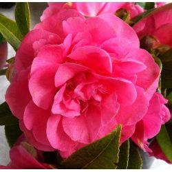 Camellia Debbie (hybride)