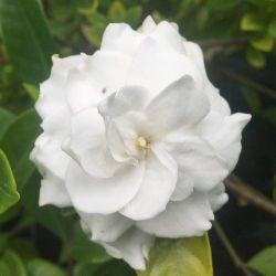 Jasmin du Cap - Gardenia jasminoides grandiflora à fleur double