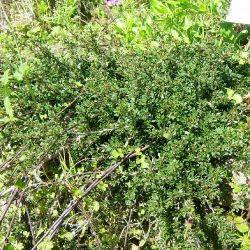 Leptospermum humifusum. Myrte des mers du sud rampante