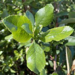 Escallonia ilinata - Escallonia blanc