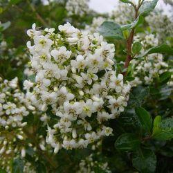 Escallonia iveyi - Escallonia blanc