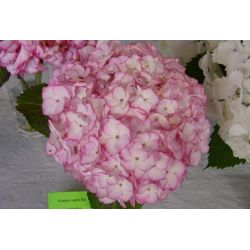 Hortensia macrophylla Sabrina cov Dutch Ladies