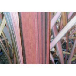 Phormium Flamingo