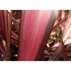Phormium Pink Panther. Lin de Nouvelle Zélande