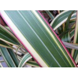 Phormium Tricolor