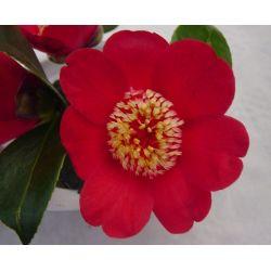 Camellia japonica Kimberley