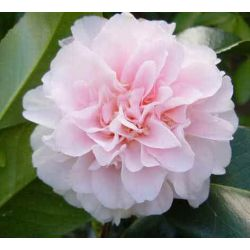 Camellia japonica King's Ransom