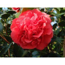 Camellia japonica Kramers Suprème