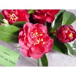 Camellia Marron and Gold