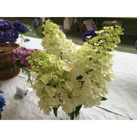 Hortensia p Unique - Hydrangea paniculata Unique