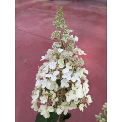 Hortensia p Candle light - Hydrangea paniculata Candle light