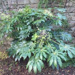 Fatsia japonica - Aralia sieboldii