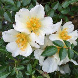 Rosier Rose de Soleil ® - Rosa Kordes Rose du Soleil ®